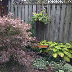 Japanese Maple paired with hosta, London, landscaping